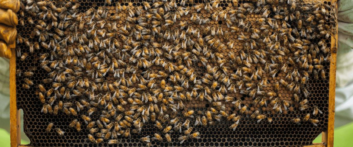 Fotografía donde se ve un panal de abejas. MIEL LOS PANALES DE CHINCHILLA - MIEL - QUIERO DELICATESSEN VILLENA - ALICANTE - MIEL VILLENA - MIEL ALICANTE