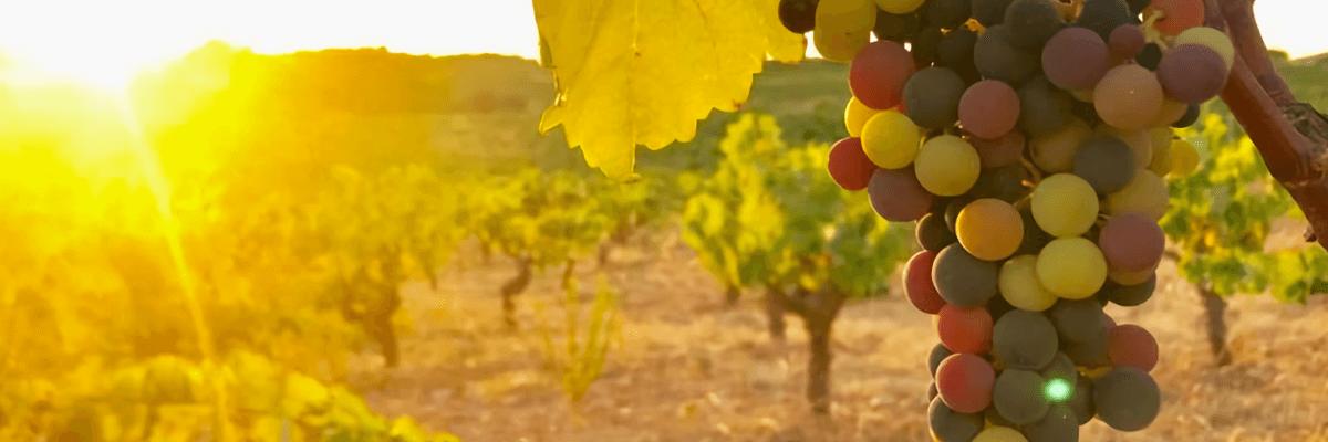 Imagen donde se pueden ver los viñedos de esta bodega. Vinos Bruno y Jose Luis Murciano - Vinos en Quiero Delicatessen - Villena - Alicante - Vino - Vinos - Bobal