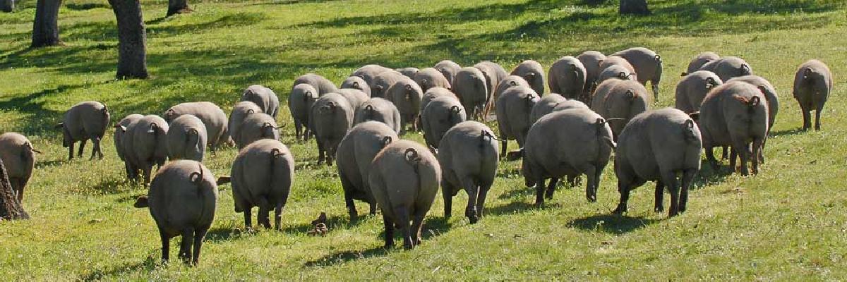 Imagen de la dehesa y de los cerdos ibéricos de Belloterra. En Quiero Delicatessen Belloterra - Crianza - bellota - ibérica - ibéricos - jamón
