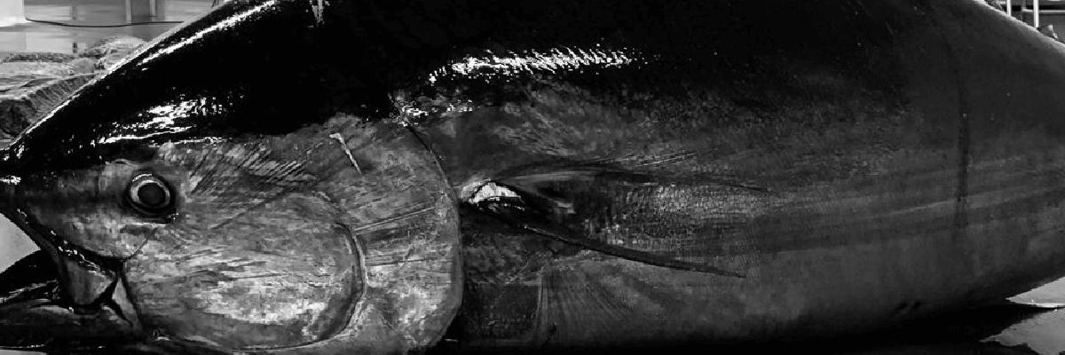 Fotografía de un atún. Salazones conservas y ahumados de Barbate - Herpac - Atun - atun rojo - mojama - hueva - cadiz - almadraba - quiero delicatessen - villena - alicante