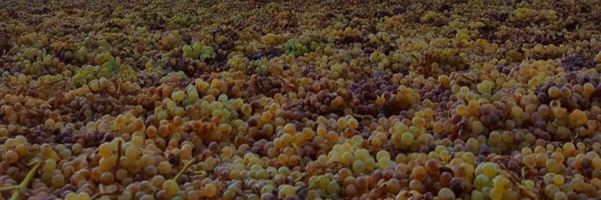 Fotografía de un viñedo o de uva - vinos fortificados - vinos generosos - vinos de jerez - quiero delicatessen - villena - alicante